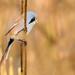 Wąsatka, Bearded Parrotbill (Panurus biarmicus) ... by Rafal Szozda