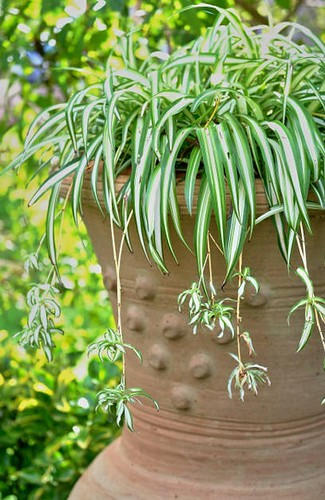 Top 5 House Plants - Spider Plant