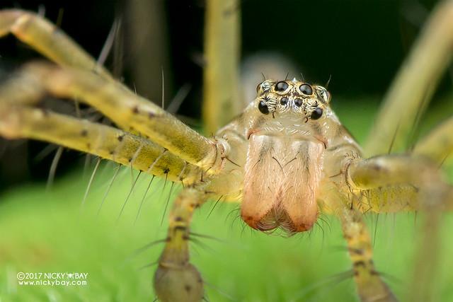 Nursery web spider (Polyboea sp.) - DSC_1930b
