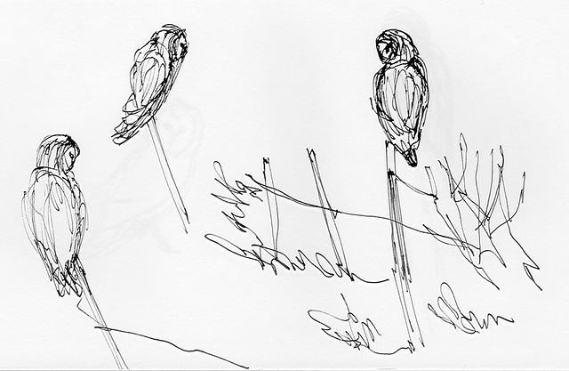 171202_Barn owls
