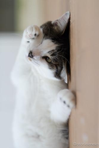 アトリエイエネコ Cat Photographer 25602274858_9ee1790f99 保護猫カフェ&猫ホテル ねこんチ