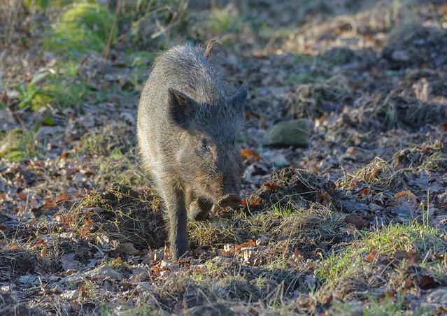 wild boar,  forest of dean