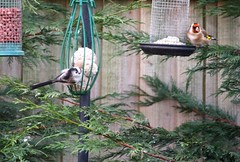 HolderOne Aegithalos caudates with gold finch on the feeders