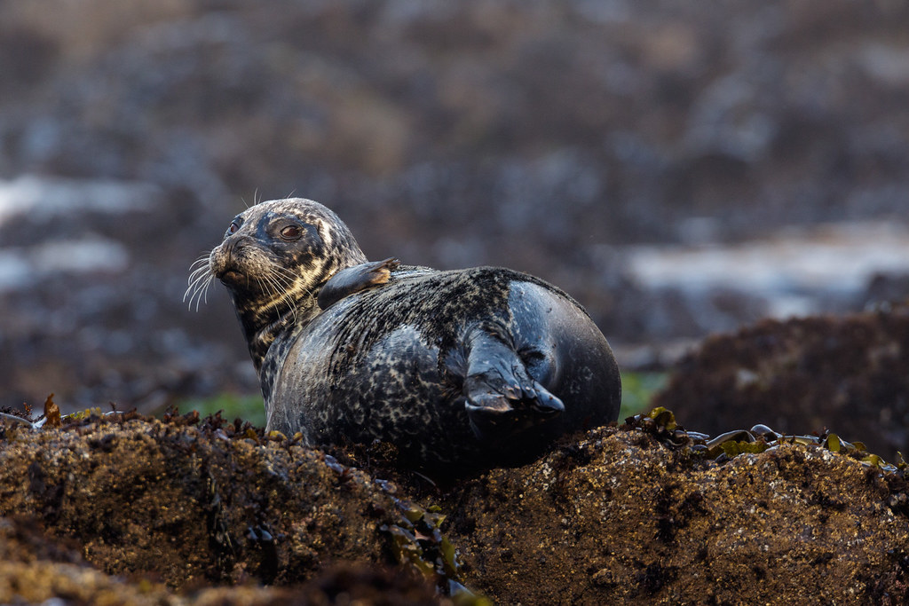 A harbor seal with mottled coloring rests at Yaquina Head Outstanding Natural Area in Newport, Oregon
