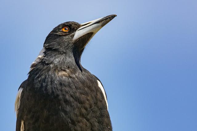 Australian Magpie 2017-12-16 (5D_32A5599)