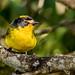 Yellow-crowned Whitestart by Ferney Salgado