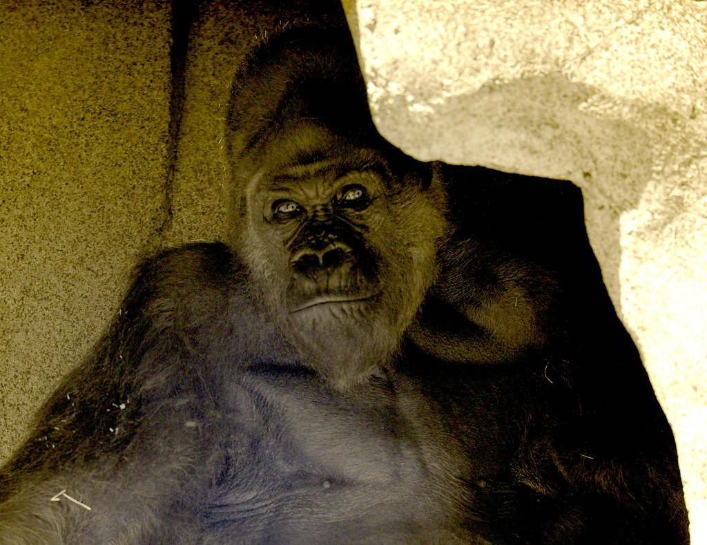 Gorilla_5