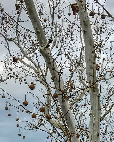 Sycamore tree decked out for Christmas