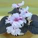非洲紫羅蘭 Saintpaulia Buckeye My Oh My   [香港北區花鳥蟲魚展 North District Flower Show, Hong Kong]