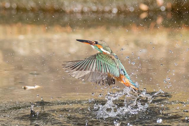 20171229-kingfisher-DSC_3072
