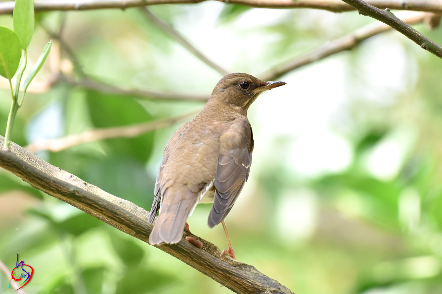 Brown-headed_Thrush_4627