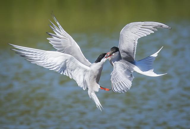 Common Terns fighting