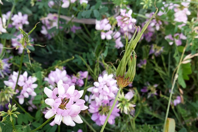 a lot of light purple flowers in a mass of green, with one flower in focus at the bottom left and a green seedhead that looks like a hand with many slender fingers