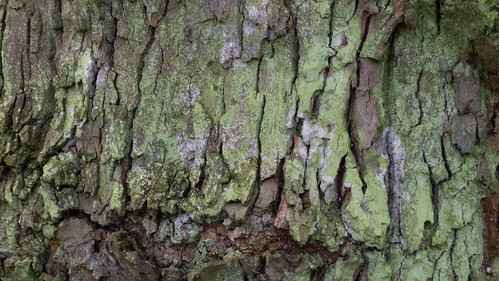 Lichen-encrusted bark, West Park