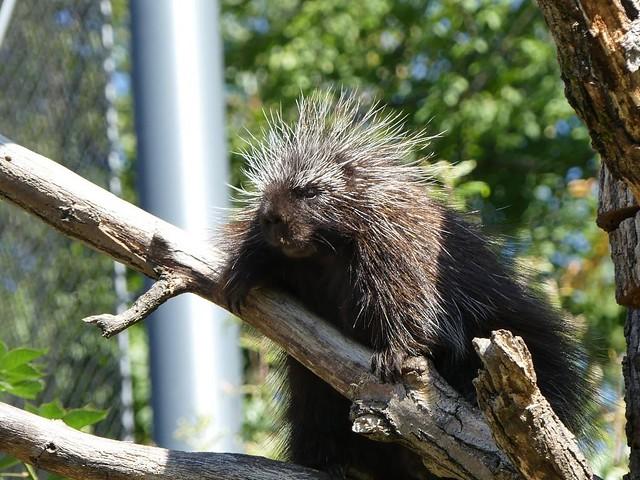 Greifstachler, Zoo Brno