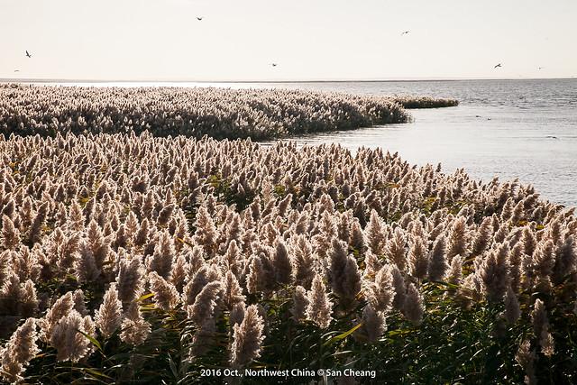 居延海-蘆葦