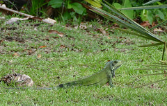 Green Iguana (Iguana iguana) young male visiting the garden ...