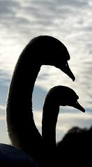 HolderMute swan silhouette, Talkin Tarn, Brampton, Cumbria, UK