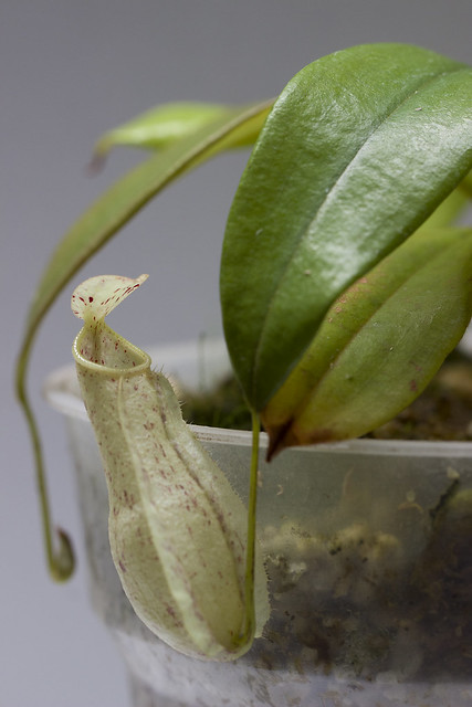 Nepenthes danseri