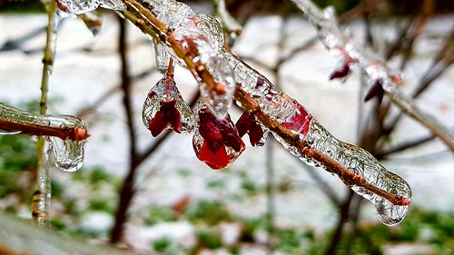 Euonymus in ice