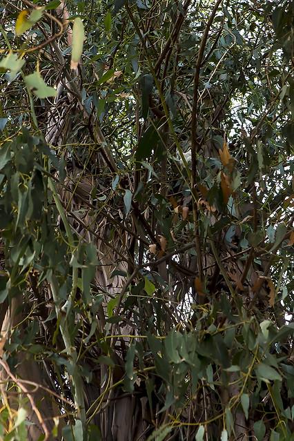 364/365  Barn Owl in a Eucalyptus tree