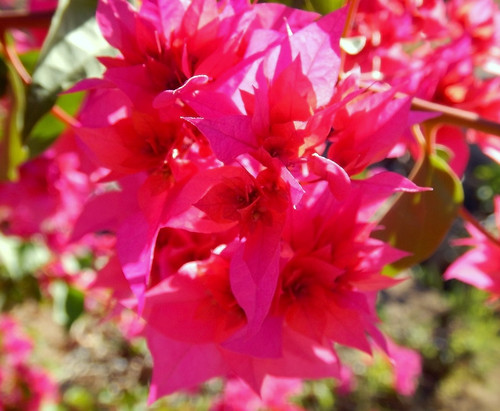 Red Double Bougainvillea Flower