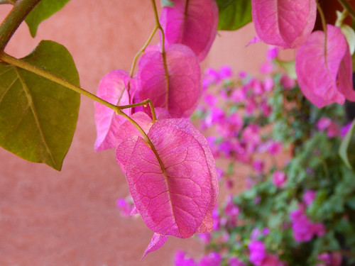Hot Pink Bougainvillea Flower
