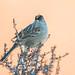 Golden-crowned Sparrow (Zonotrichia atricapilla)