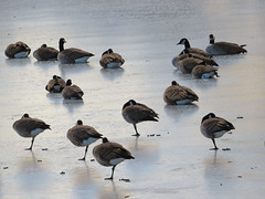 Canada Geese Conserving Energy on Ice