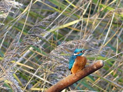 Kingfisher  P1520003