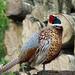 Pheasant and Woodpile at Leighton Moss