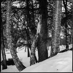 Trees on snow