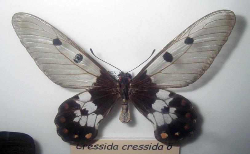 Cressida cressida 39522641922_8838baf4ed_o