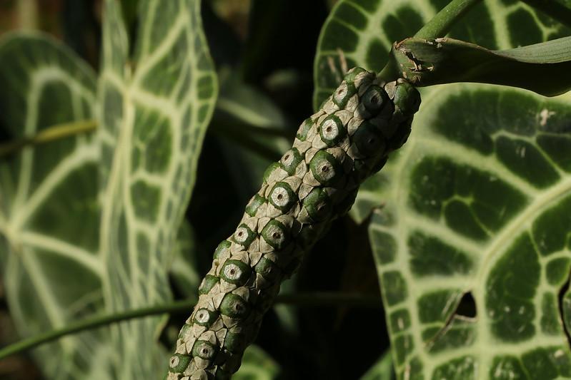 Anthurium magnificum  ビロードウチワ