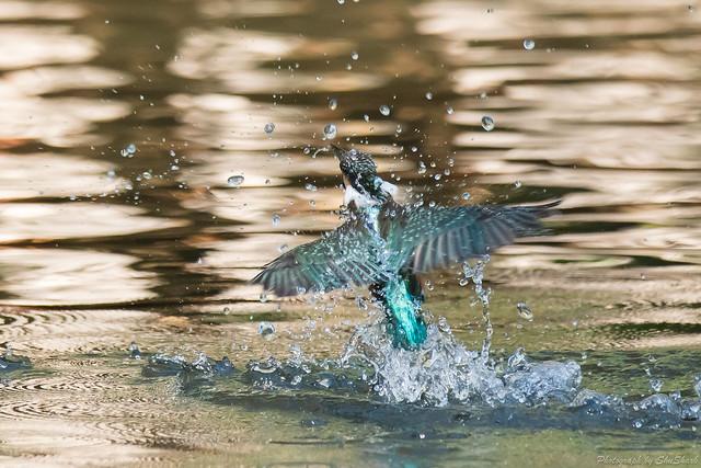 20171209-kingfisher-DSC_0384