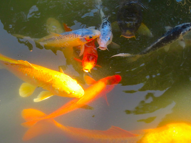 Golden Koi painting an impressionistic painting.