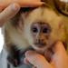 CapuchinMonkey-1147