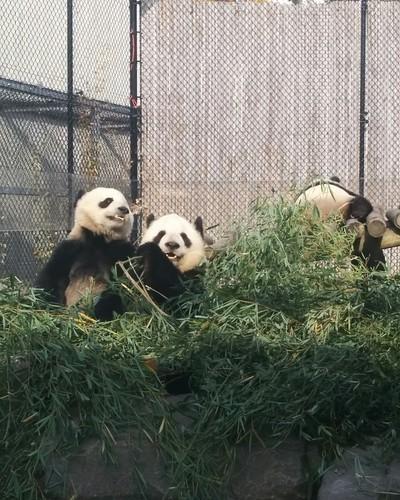 Er Shun, Jia Panpan, Jia Yueyue (3) #toronto #torontozoo #pandas #giantpandaexperience #ershun #jiapanpan #jiayueyue #bamboo #latergram