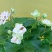 非洲紫羅蘭 Saintpaulia Rob's Artful Dodger   [香港北區花鳥蟲魚展 North District Flower Show, Hong Kong]