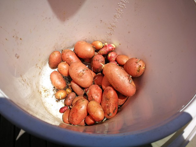red potatoes weighing 3.13 kg