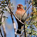 Small photo of House Finch
