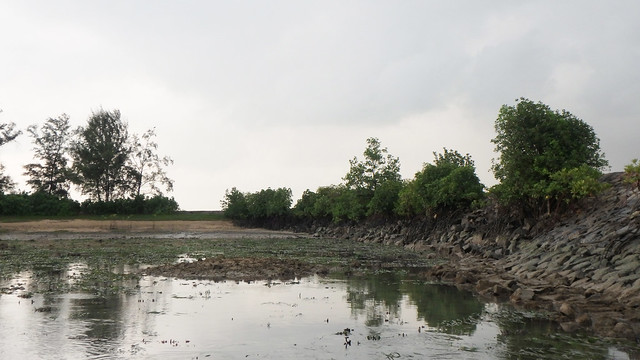 Mangroves settling naturally on seawall at Pulau Hantu