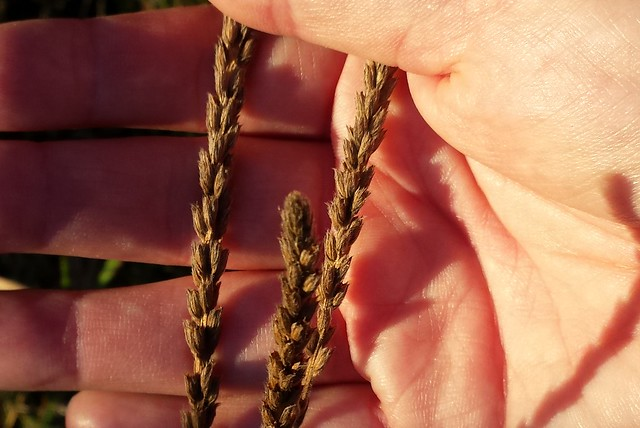 a hand holding three long, brown seed spikes