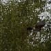 Jay (Garulus glandarius) in flight with acorn