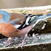 is it a chaffinch?