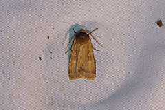 HolderRosy Marsh Moth, Roudsea, Cumbria, England