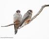 Amur Falcon, Falco amurensis, Hwange National Park, Zimbabwe by Jeremy Smith Photography