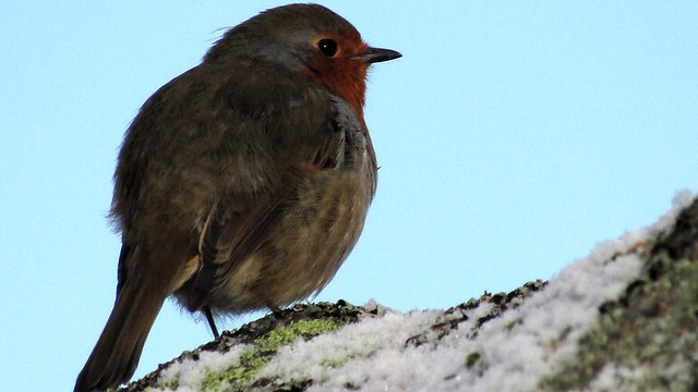 Robin atop Shelstone Tor close up