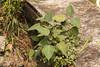 IMG_7667 Ficus religiosa by budak