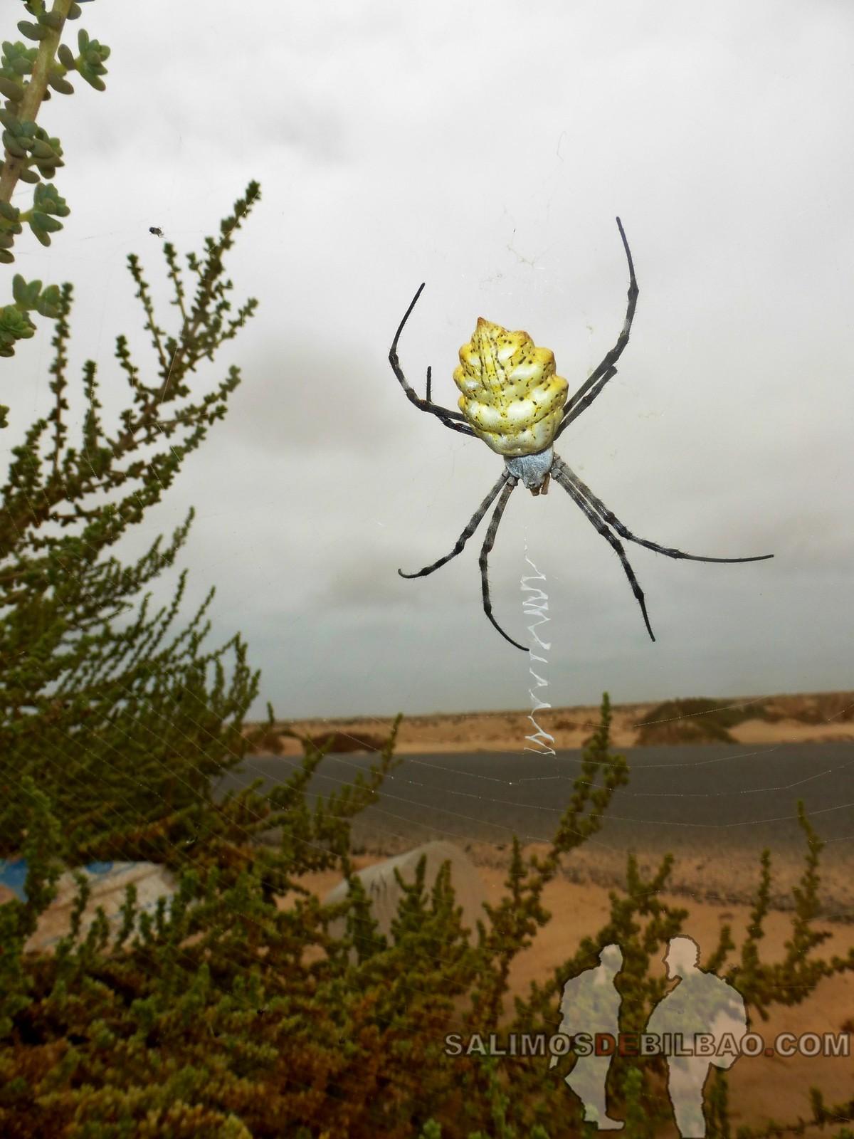 168. Araña, Paseo del Faro a la playa, Dakhla